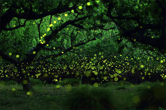 Long exposure photographs of Fireflies in the forests of Nagoya City, Japan Yume-2