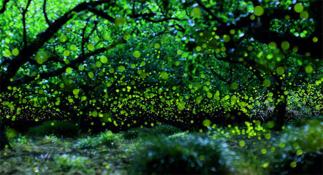 Long exposure photographs of Fireflies in the forests of Nagoya City, Japan Yume-3