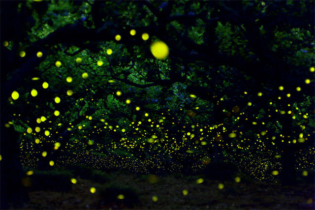 Long exposure photographs of Fireflies in the forests of Nagoya City, Japan Yume-4