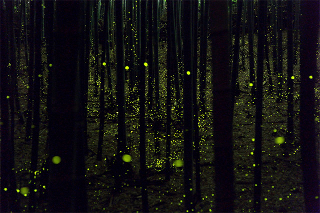 Long exposure photographs of Fireflies in the forests of Nagoya City, Japan Yume-5