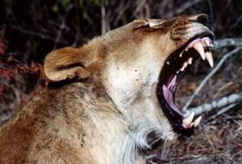 Il covo di Gara Tematica Big5_lion