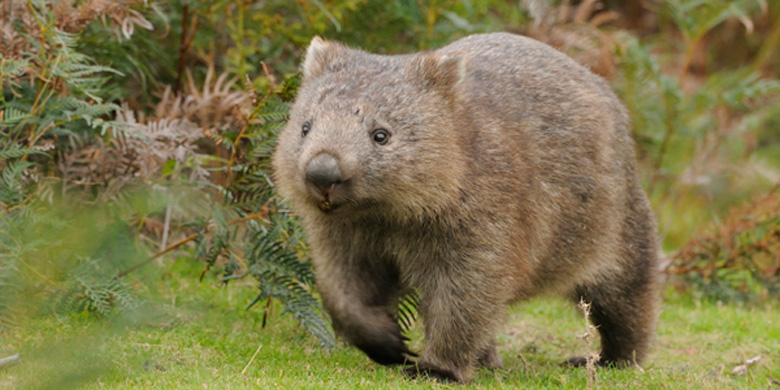 Gippsland Trophy 2021 - WTA - Inscriptions Common-Wombat