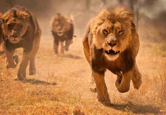 Aparecen leones de la nada para salvar la vida de cristianos Animales-en-video-leones-corriendo