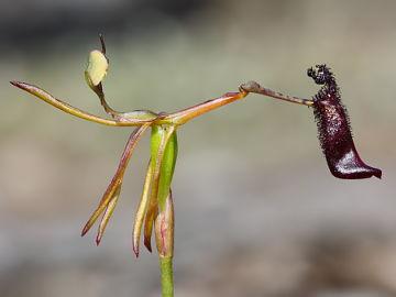 HOA GIEO TỨ TUYỆT 2 Drakaea_gracilis_x_livida_1