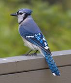 El Sillon Encantado Blue-jay-arrendajo-azul