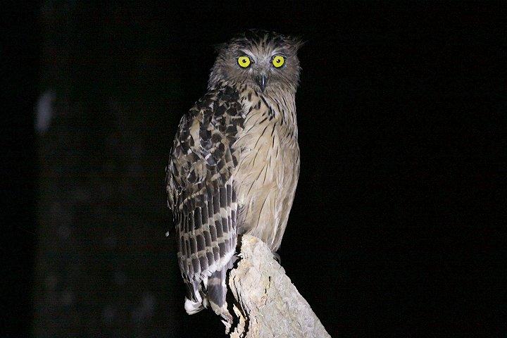 Strigformes: Famíla Strigidae- sub fam. Buteonidae. Género Ketupa (por vezes incluído em Bubo) Buffy-fisch-owl
