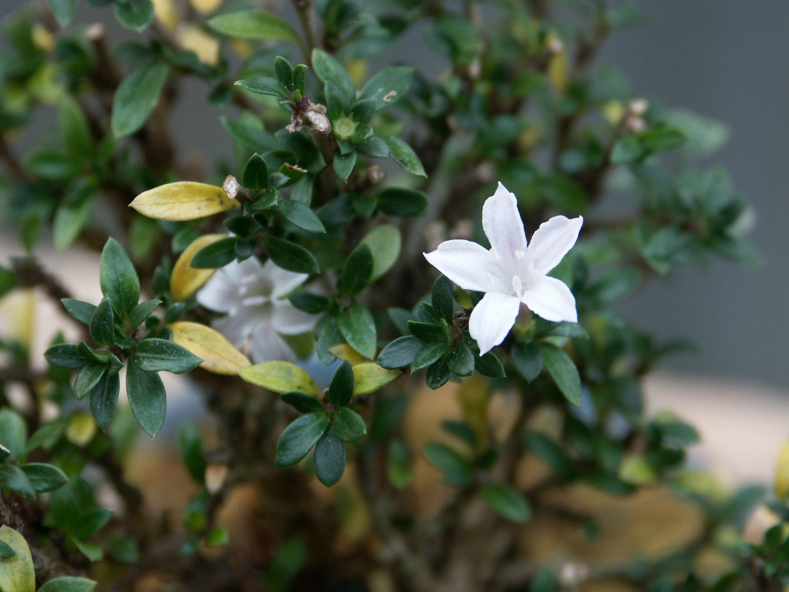 bonsaï Serissa_en_fleur.70661