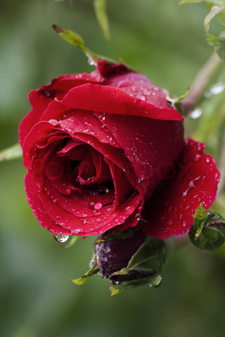 Mưa 1955159-123864-raindrops-on-a-rose-flower-over-a-natural-green-background-right-after-a-summer-rain