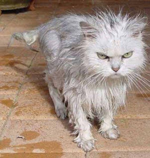 Cogito ergo sum Gatto-arrabbiato