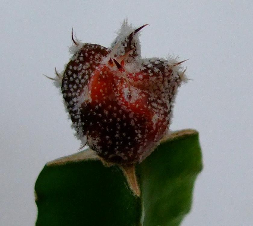 Astrophytum hybrids without a name yet DSCF9595a