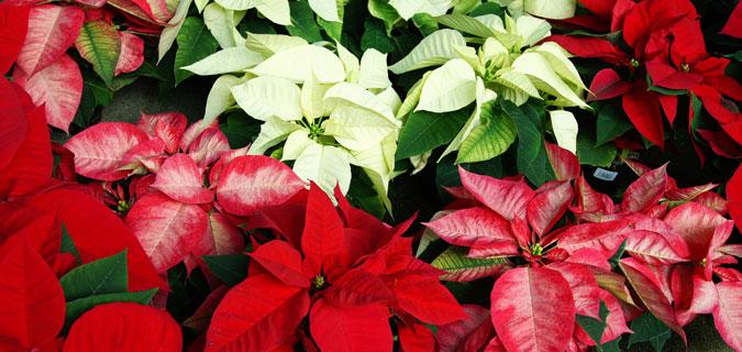 Cómo cuidar de Poinsettia o planta de Navidad Poinsettia-valencia