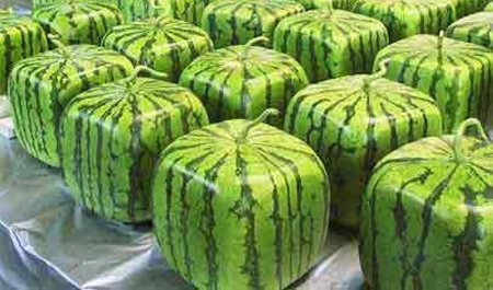 علوم الحياة والأرض: التربية الغذائي Squarewatermelons1
