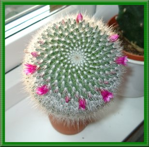 Kaktusi Kaktus