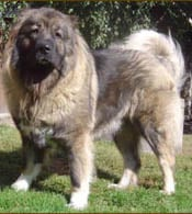 الكلب القوقازي Caucasian Shepherd Dog  Caucasian_Mountain_Dog