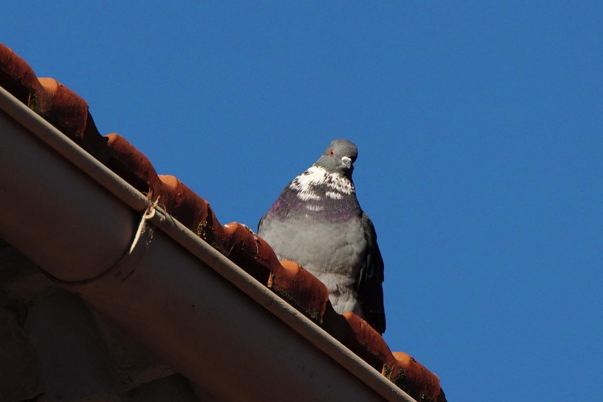 Pigeon SDIM1767