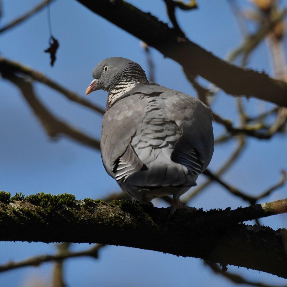 Pigeon à l'oeil gris P1200515