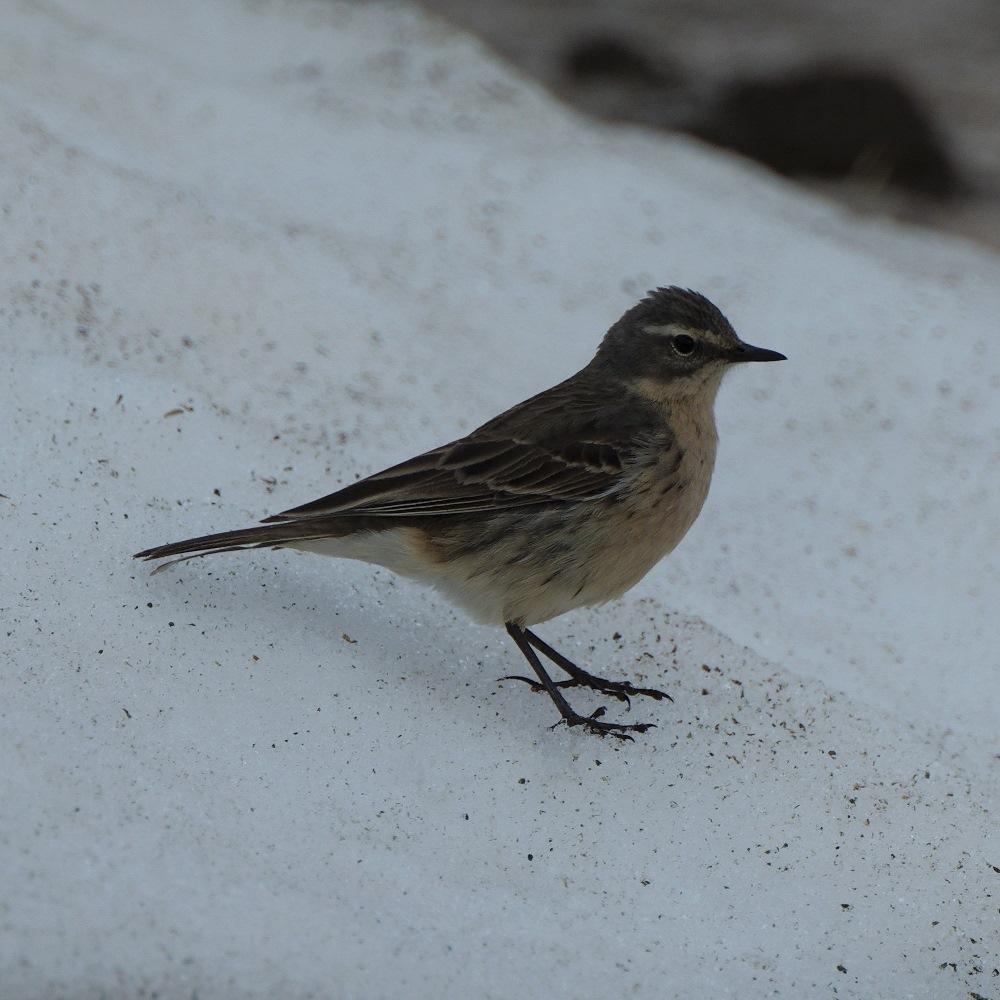 Oiseau des neiges MSDIM0724