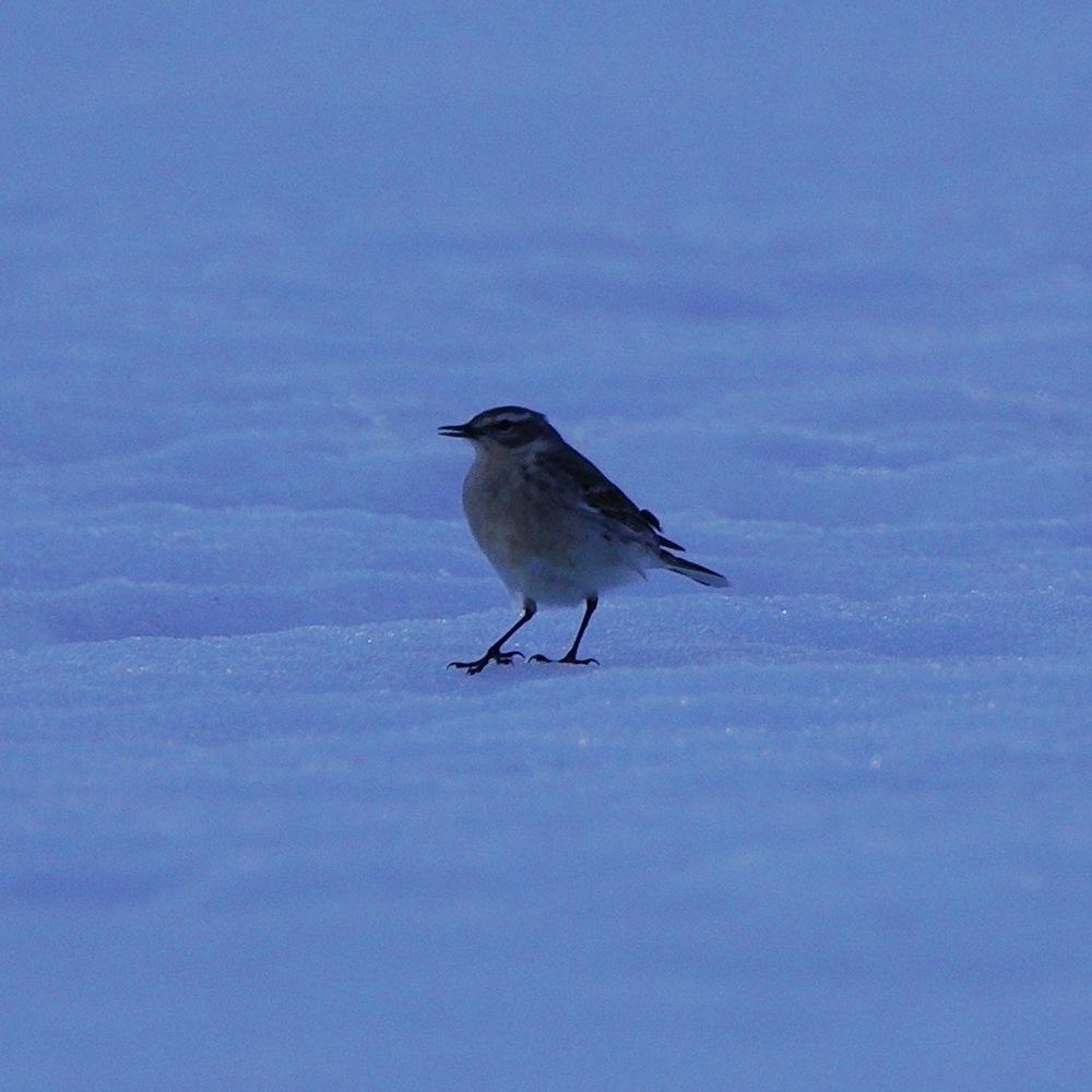 Oiseau des neiges SDIM0243