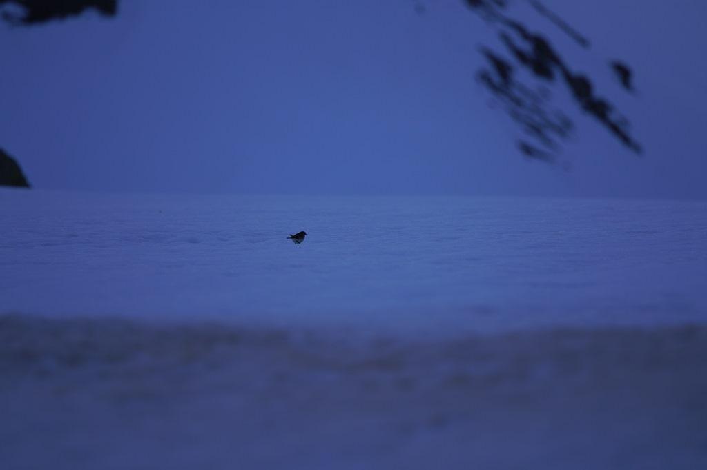 Oiseau des neiges SDIM0245