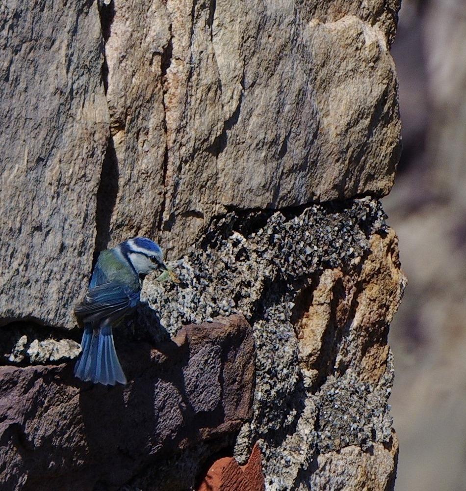oiseau bleu ;) SDIM8652