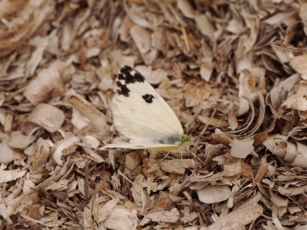 recto et verso : Pieridae Varois + ajouts + ajouts RDIM1427