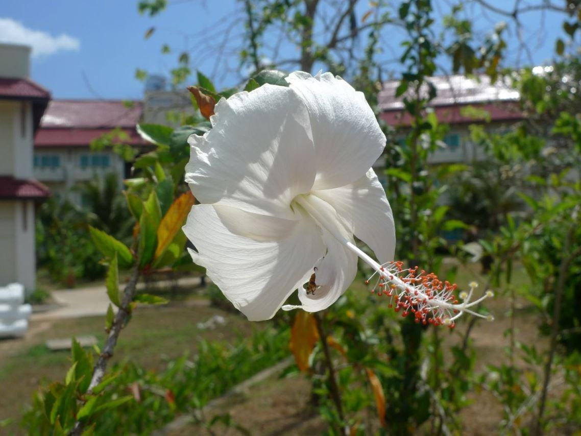 Fleur du Cambodge P1060030
