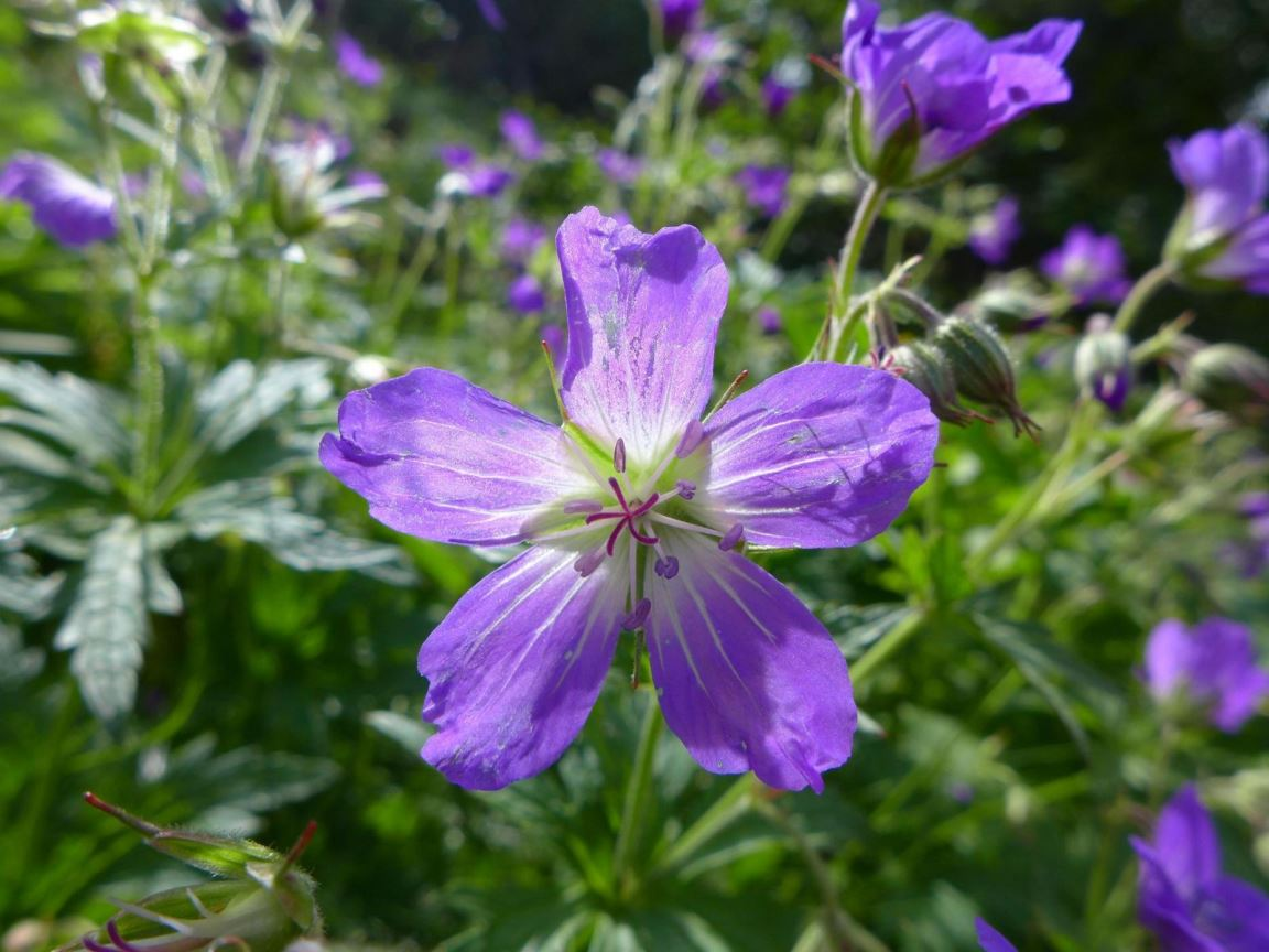 Fleur alpine 1 P1170019