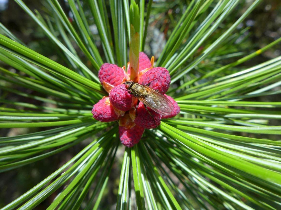 Fleur alpine 2 P1170040
