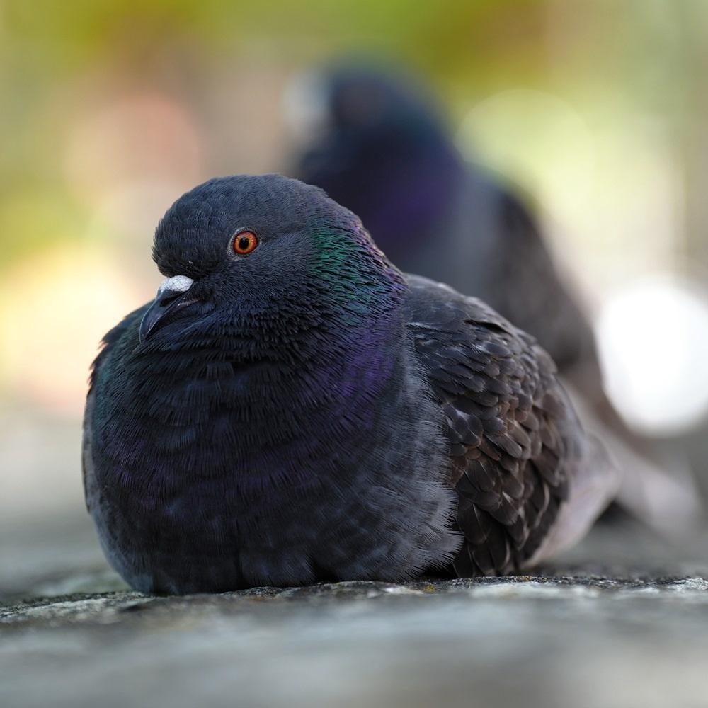Pigeon classique biset, mais varois SDIM0810