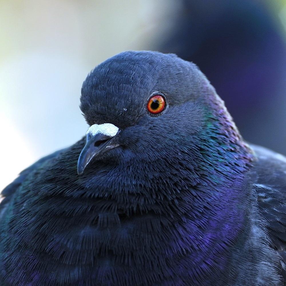 Pigeon classique biset, mais varois SDIM0812