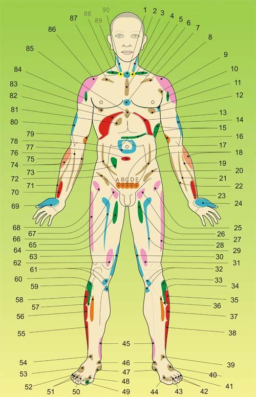 ПРОЕКЦИОННЫЕ ЗОНЫ НА ТЕЛЕ ЧЕЛОВЕКА (со стороны живота) Bodyfront