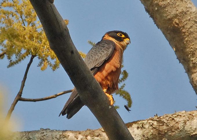 Falconiformes. sub Falconidae - sub fam Falconinae - gênero Falco - Página 3 Hobby_oriental_01