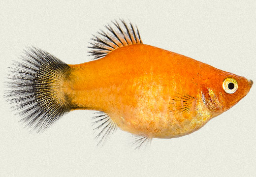 Non-Angel fish health problem Platy-gold-wagtail
