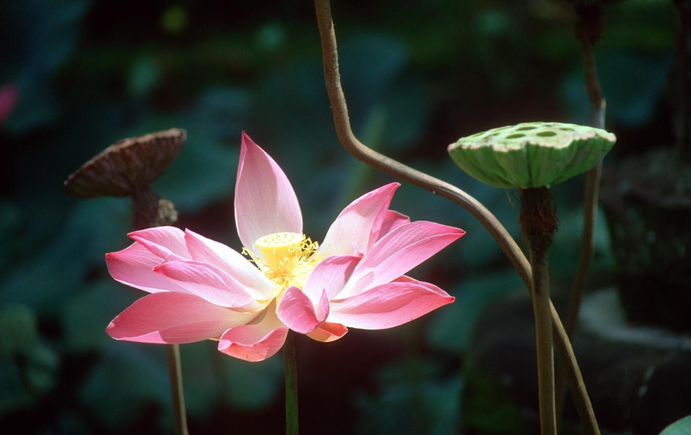 Avalon's gardens DPS%20Bali%20Ubud%20Puri%20Lukisan%20Art%20Museum%20garden%20lotus%20flower%20b