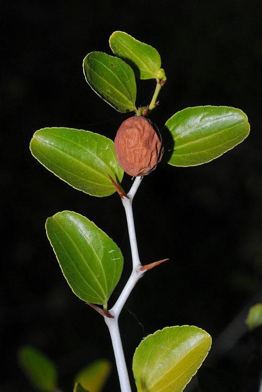 فوائد عشبة السدرلعلاج الكثير من الامراض Ziziphus_lotus7