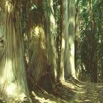 Eucalipto (Eucaliptus Globulus) Eucaliptus-1