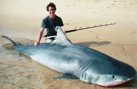 Escrito La Pesca del Tiburón con Carnadas por José Manuel López Pinto / Actualizado al 20 de Octubre del 2011 Tiger2