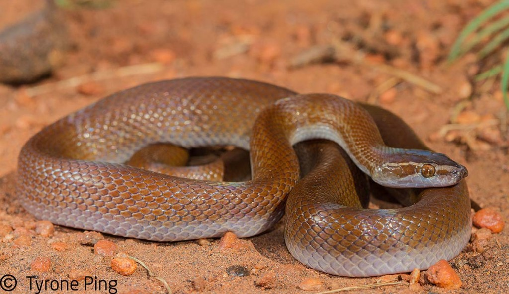 L'examen de son premier serpent Boaedon-capensis-Brown-House-Snake.-From-Vaalwater-Limpopo-1024x592