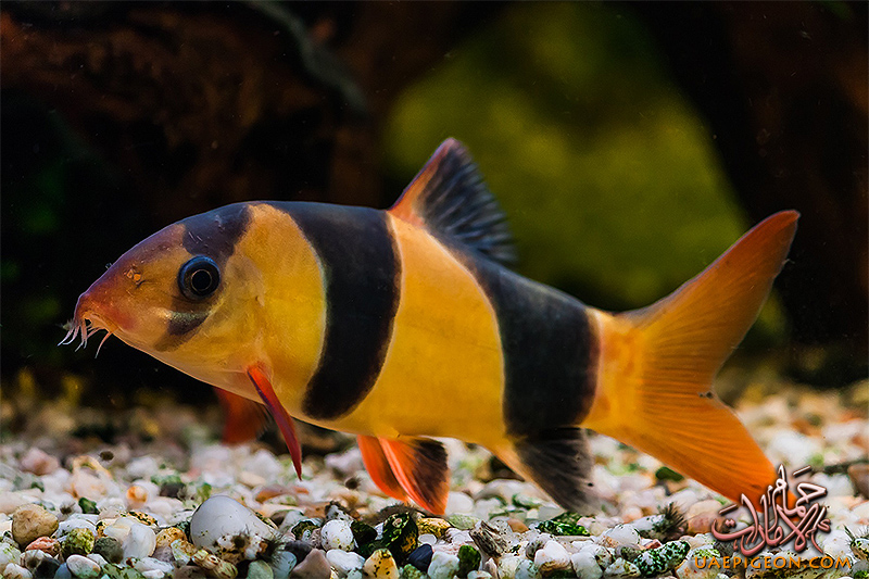 سمكه الكلون فيش clown fish Clown-Loach-2019
