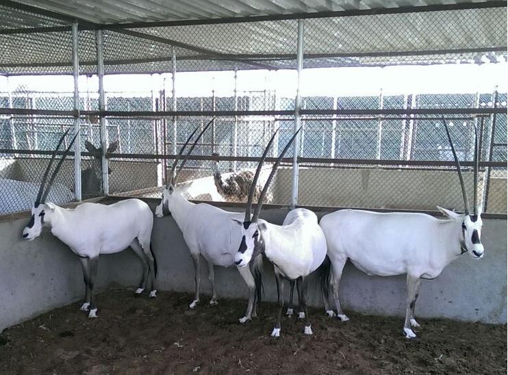 غزلان_المها  تربية مزارع للبيع   1443603506511