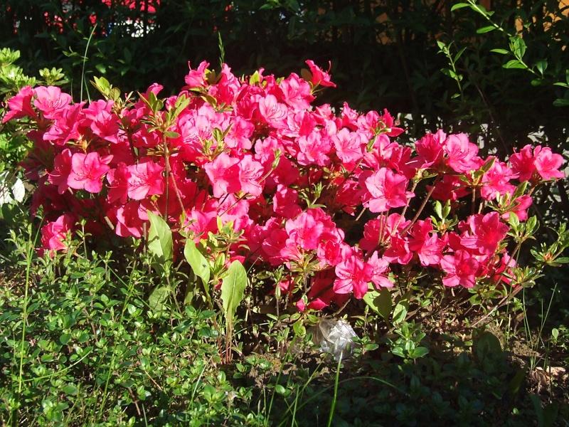 Rhododendron 2013-05-21_Rhododendron_obtusum_Allotria