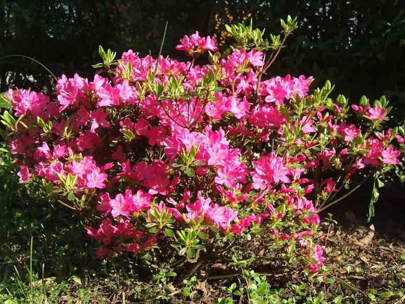 Rhododendron 2013-05-21_Rhododendron_obtusum_Kermesina
