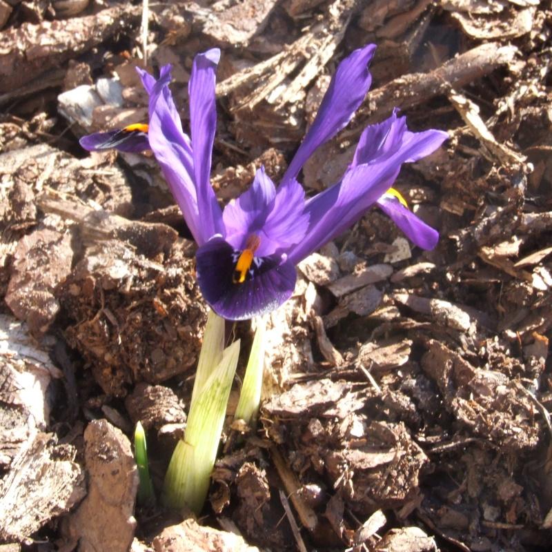 Erste Frühlingsboten im Garten und in Wald und Flur - Seite 2 2013-03-06_Iris_reticulata_Violet_Beauty