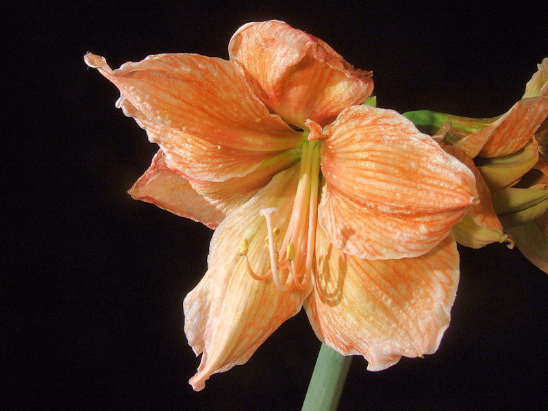 Amaryllisgewächse - Amaryllidaceae (Hippeastren, Nerine, Amaryllis, Agapanthus und auch Allium & Narzissen) - Seite 6 2013-08-17_Hippeastrum_Exotica