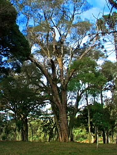 Árvores - Nossos baixos antes de tomar forma - Página 2 Imbuia_inteiro