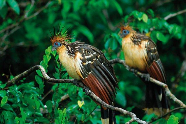 l'oiseau d'Ajonc à découvrir trouvé par Blucat Hoazin