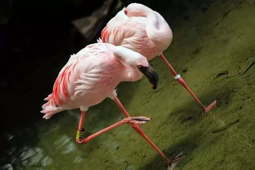 طائر الفلامنجو الوردي 7094-3-or-1413190833