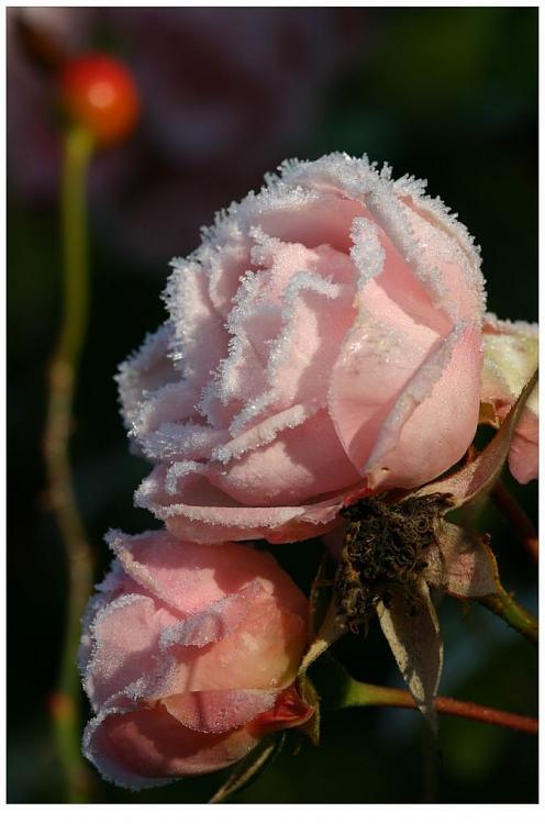 لكل محبي الورود ....!!! - صفحة 3 Af1c0aeb99