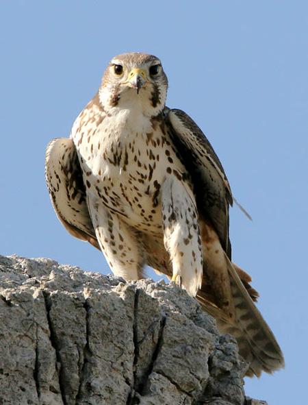 Falconiformes. sub Falconidae - sub fam Falconinae - gênero Falco - Página 2 PrairieFalconKK15