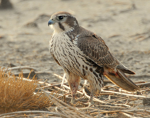 Falconiformes. sub Falconidae - sub fam Falconinae - gênero Falco - Página 2 PrairieFalconPH1